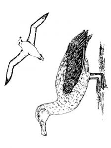 Albatross-birds-coloring-pages-16