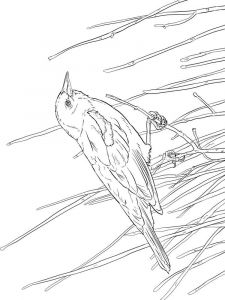 Blackbird-birds-coloring-pages-10