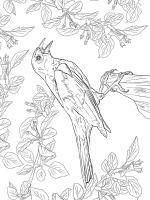 Blackbird-birds-coloring-pages-11