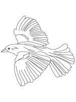 Blackbird-birds-coloring-pages-7