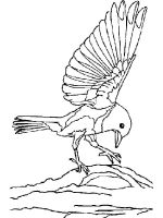 Bluebird-birds-coloring-pages-12