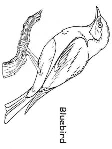 Bluebird-birds-coloring-pages-2