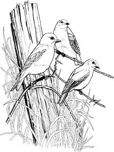 Bluebird-birds-coloring-pages-5