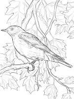 Bluebird-birds-coloring-pages-7