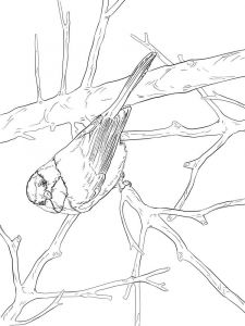 Chickadee-birds-coloring-pages-3
