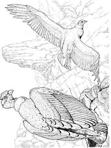 Condors-birds-coloring-pages-10
