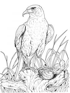 Eagle-birds-coloring-pages-14
