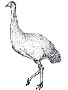 Emu-birds-coloring-pages-12