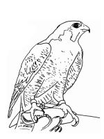 Falcons-birds-coloring-pages-10