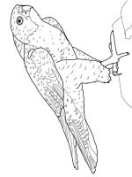 Falcons-birds-coloring-pages-6