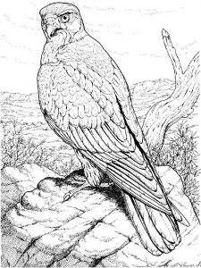 Hawks-birds-coloring-pages-10