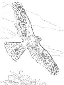 Hawks-birds-coloring-pages-12
