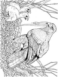 Hawks-birds-coloring-pages-7
