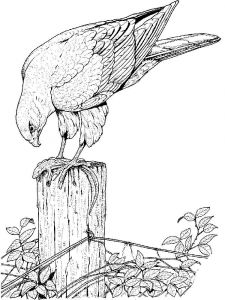 Hawks-birds-coloring-pages-8