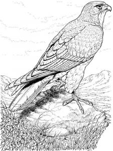 Hawks-birds-coloring-pages-9