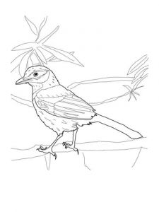 Jay-birds-coloring-pages-11