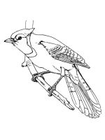 Jay-birds-coloring-pages-3