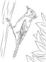 Jay-birds-coloring-pages-5