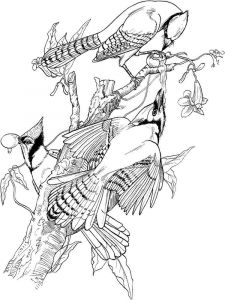 Jay-birds-coloring-pages-6