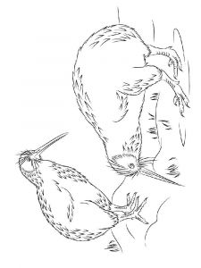 Kiwi-birds-coloring-pages-3