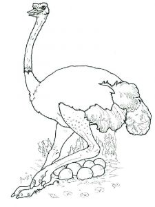 Ostrich-birds-coloring-pages-5