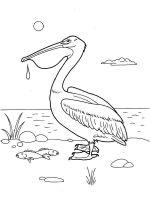 Pelicans-birds-coloring-pages-4