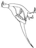 Pheasants-birds-coloring-pages-2