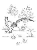 Pheasants-birds-coloring-pages-4
