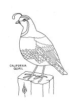 Quail-coloring-pages-6
