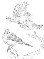 Sparrows-birds-coloring-pages-12