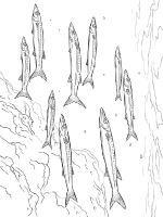 Barracudas-coloring pages-10