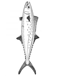 Mackerels-coloring pages-2