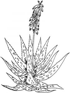 Aloe-coloring-pages-4