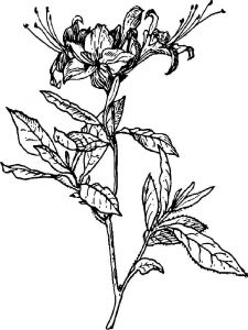 Azalea-coloring-pages-3