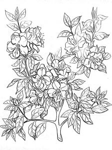 Azalea-coloring-pages-4