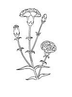 Carnation-coloring-pages-24