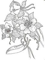 Columbine-flower-coloring-pages-5