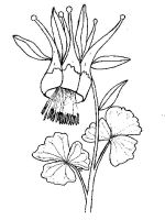 Columbine-flower-coloring-pages-7