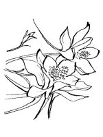 Columbine-flower-coloring-pages-8