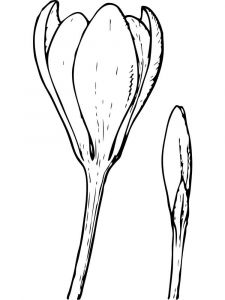 Crocus-flower-coloring-pages-11