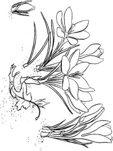 Crocus-flower-coloring-pages-2