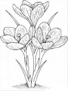Crocus-flower-coloring-pages-3