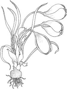 Crocus-flower-coloring-pages-4