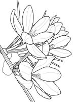 Crocus-flower-coloring-pages-8