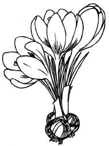 Crocus-flower-coloring-pages-9