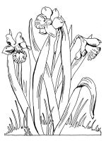 Daffodil-flower-coloring-pages-1