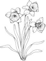 Daffodil-flower-coloring-pages-10
