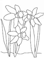 Daffodil-flower-coloring-pages-5