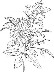 Dahlia-flower-coloring-pages-6