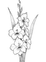 Gladiolus-flower-coloring-pages-12